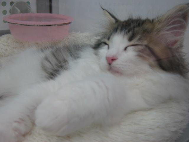 メインクーン寝