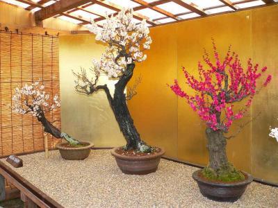 。写真キャプション=レストホールの横に展示されていた梅の古木盆栽の見事な姿