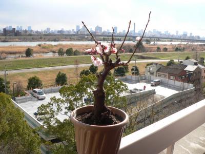 写真キャプション=大阪城公園の梅林で行なわれていた植木市で買ってきた「豊後梅」がやっと咲き出した