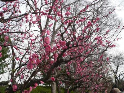 写真キャプション=大阪城公園内の梅林で咲き始めた紅梅
