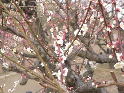 写真キャプション=肌寒さのなかで、力強く春の訪れを知らせてくれた早咲きの梅