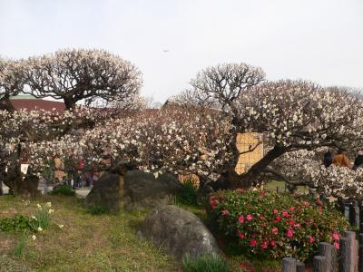 写真キャプション=これが和歌山で有名な梅干しとなる「南高梅」