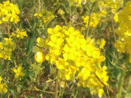 110330_菜の花