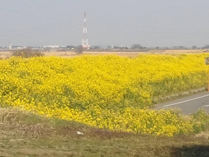 110330_菜の花畑