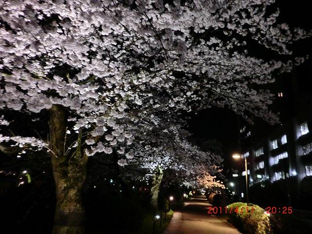 桜11 039