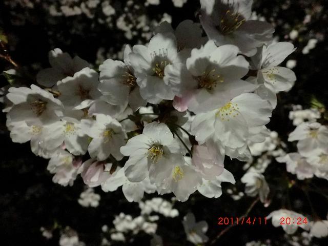 桜11 035
