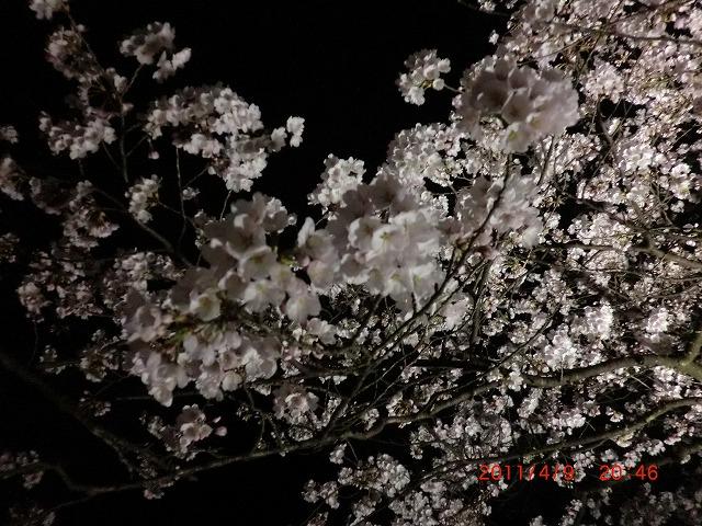 桜11 026