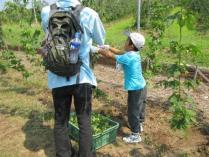 ホップ収穫体験