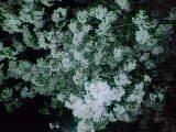 2010 4 10 桜5