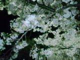 2010 4 10 桜2