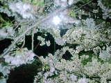 2010 4 10 桜1