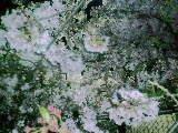 2010 4 10 桜3