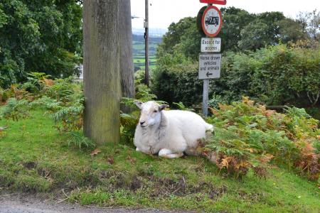 sheep moor