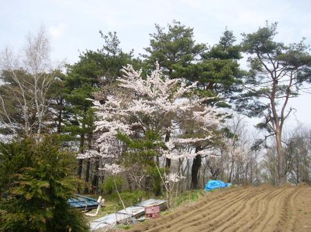 小海原の桜_convert_20110506004535