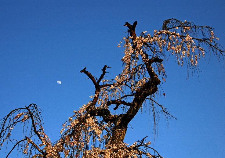 DSC_桜と月と(地蔵禅院)01