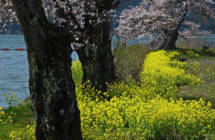 DSC春の余呉湖01