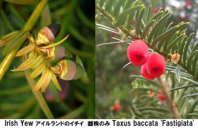 Irish Yew Taxus baccata Fastigiata