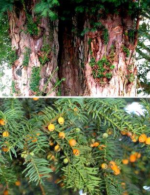 Taxus baccata Cor 05 Hall en Geel