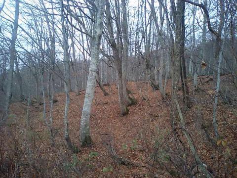 博士山ブナ天然林1