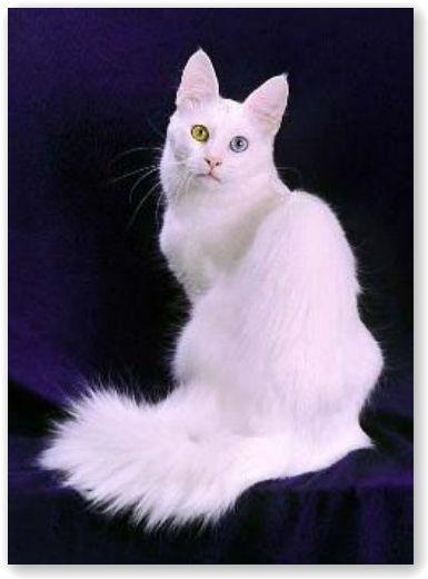 turkish angora cat 2 -