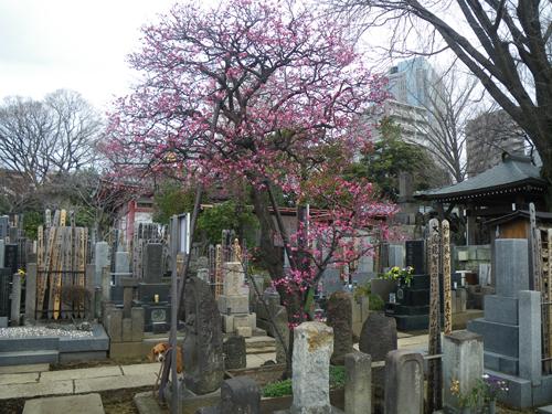 墓地の紅梅とウィル