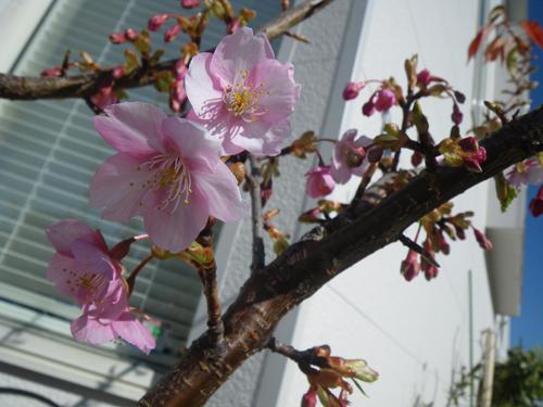 今年初めての桜1