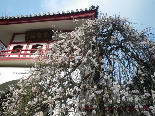 山門前の枝垂れ梅