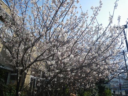 満開の白い桜