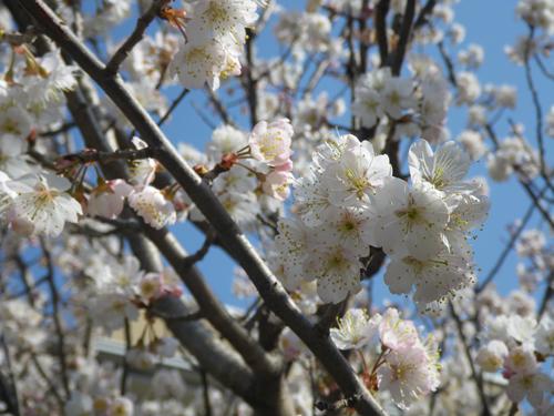 白い桜アップ