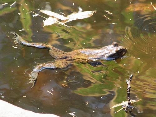 泳ぐカエル2