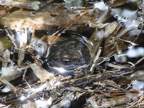 水の中のカエル