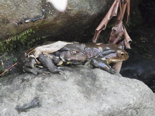 二匹のカエル
