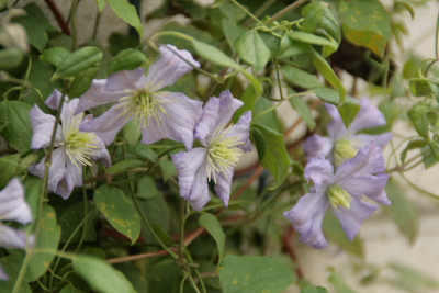 Clematis Viticella 'Prince Charles' - クレマチス ビチセラ 'プリンスチャールズ