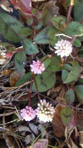 石垣のヒメソバの花
