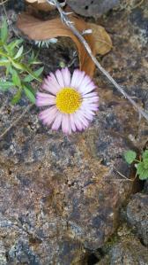 石垣のすき間に咲くヒメジオン
