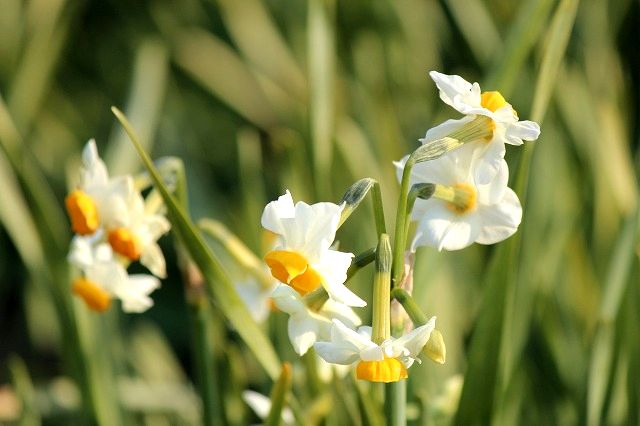 Narcissus(水仙)