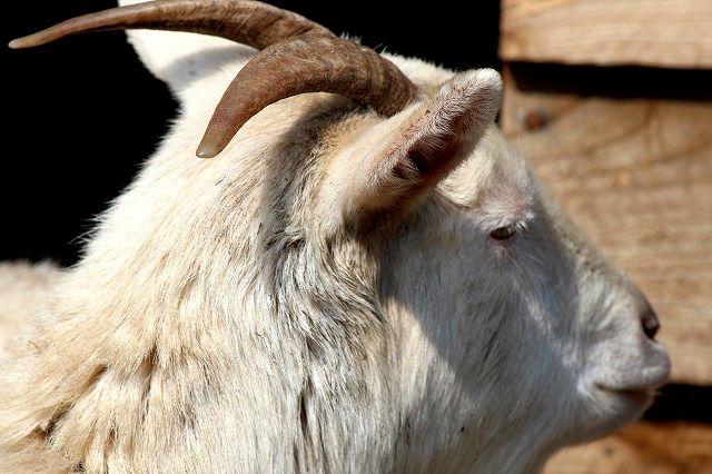 Goat (やぎ)
