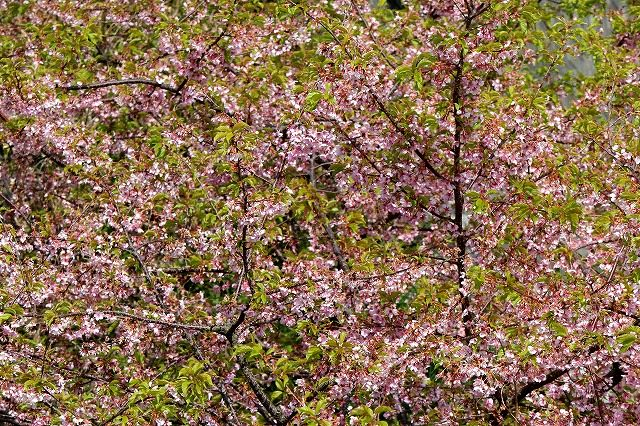 四浦半島の河津桜