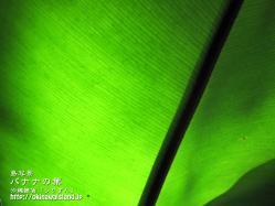 バナナ,葉,壁紙