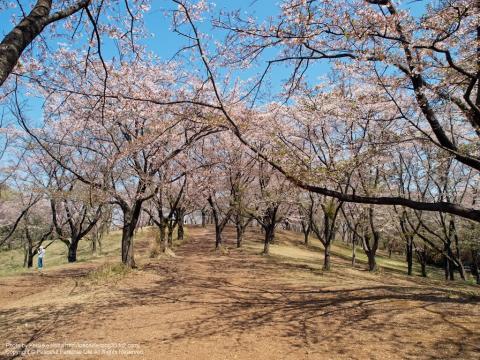 こども自然公園(大池公園)の桜山