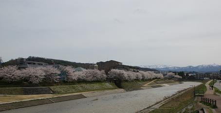 若松橋から見る桜・鈴見橋から上田上橋までの桜ロードが完成まじか