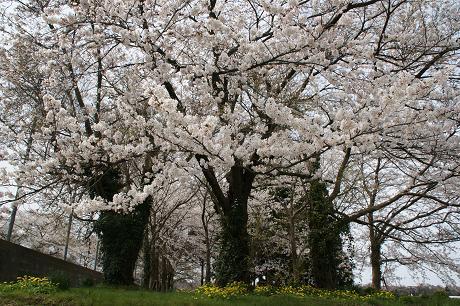 旧田上小学校桜・樹齢80年を超す老木が満開!!!