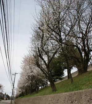 金沢刑務所桜