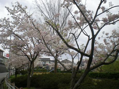 田上ハンタ桜