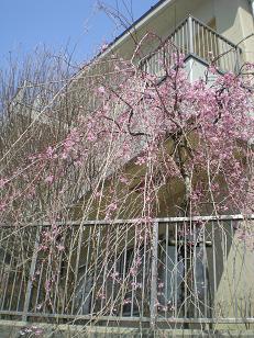 今年も元気をくれる「公民館ふれあい枝垂れ桜」が満開に