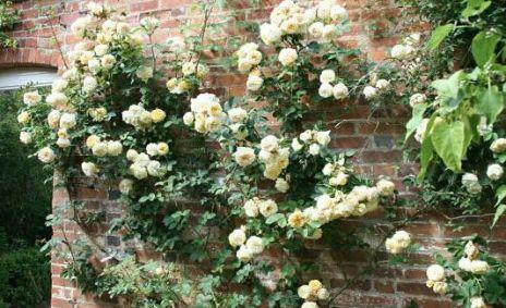 れんがを這う黄色のバラ